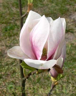 pierwszy kwiat naszej magnolii